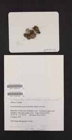 Protothelenella corrosa image