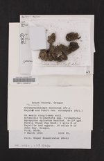 Thelenella muscorum image