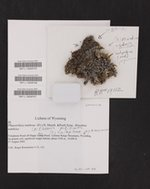 Phaeorrhiza nimbosa image
