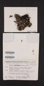 Xanthoparmelia coloradoensis image