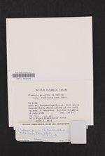 Cladonia gracilis subsp. turbinata image
