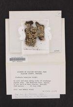 Cladonia ecmocyna subsp. intermedia image