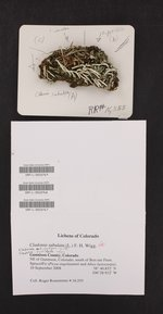 Cladonia subulata image