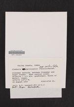 Cladonia verticillata image