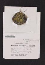 Acarospora schleicheri image