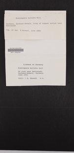 Acarospora bullata image