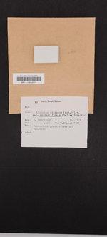 Cladonia crispata var. cetrariiformis image