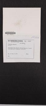 Cladonia digitata image