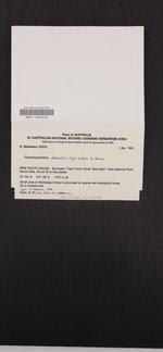 Image of Pseudocyphellaria dissimilis