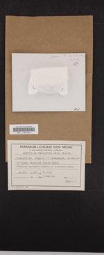 Megaspora verrucosa image