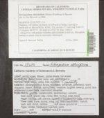 Scleropodium obtusifolium image