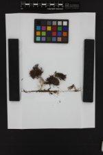 Schistidium occidentale image