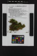Homalothecium californicum image